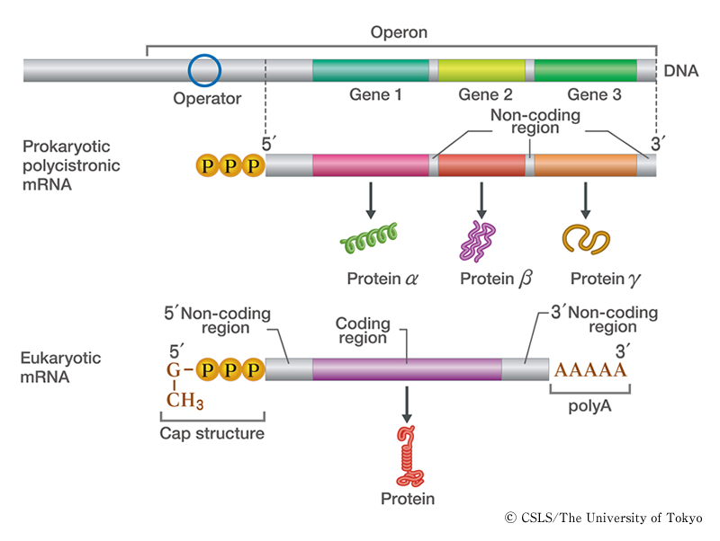Bacterial mrna structure
