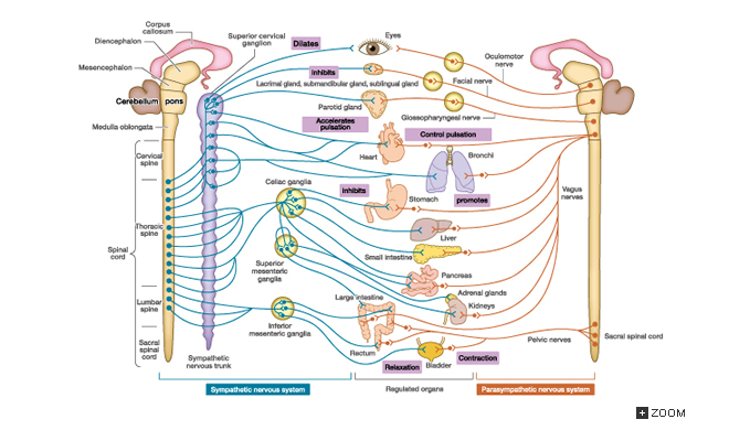 5.3 The Autonomic Nervous System | Introduction to Life ...