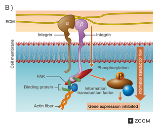 11.6 Cellular Adhesion and Tissue Architecture | Introduction to ...