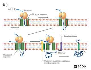 a review of types of transmembrane proteins biology essay Transmembrane protein from biology-online dictionary  transmembrane proteins may be classified in two major groups: alpha-helix - present in all types of .