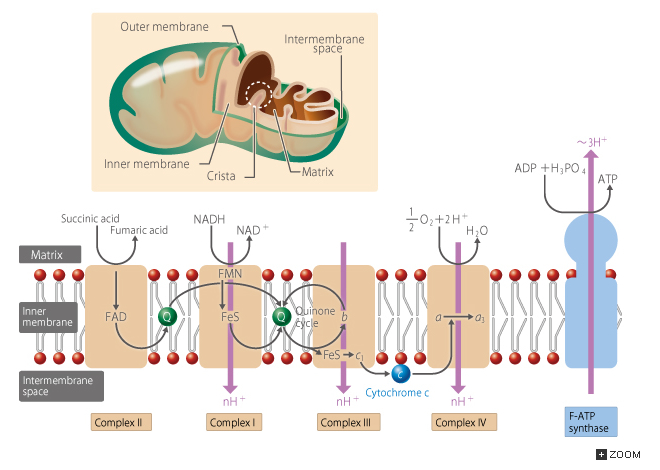 16.3 Respiration: The Citric Acid Cycle and Respiratory