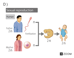 How do humans reproduce asexually