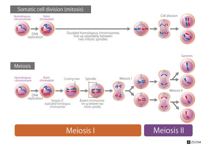 182 Somatic Cell Division Mitosis And Meiosis Introduction To