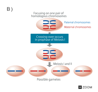 What Is The Significance Of Meiosis To Sexual Reproduction
